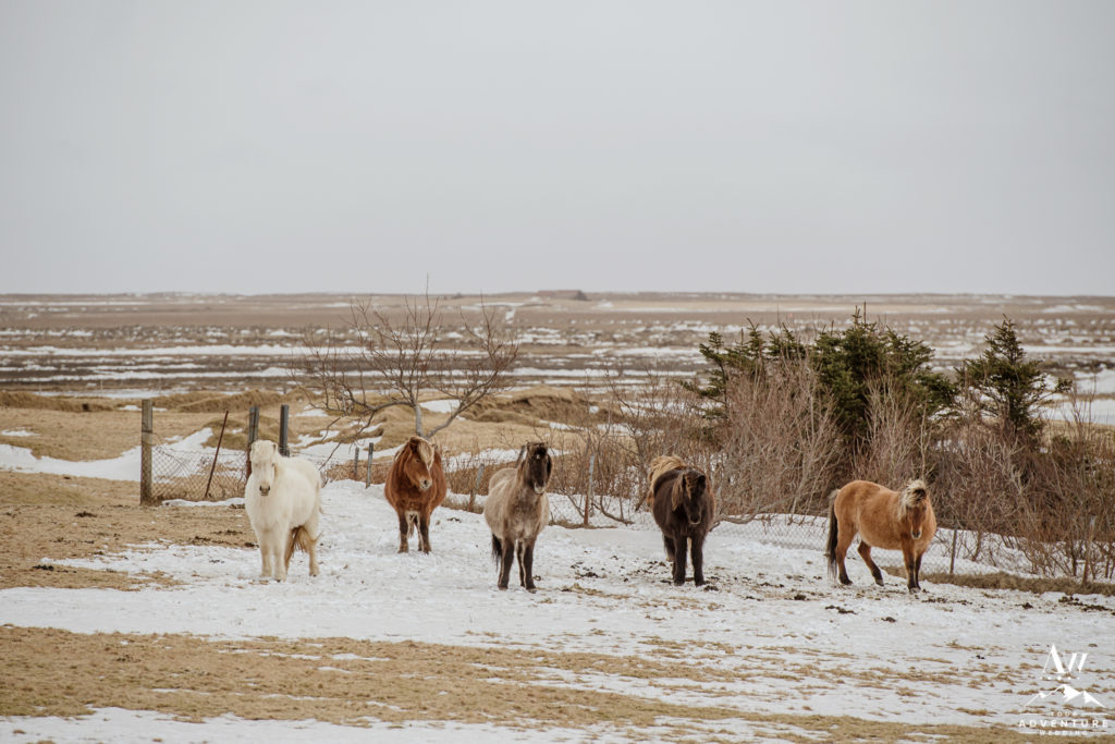 Icelandic Horses During March Elopement