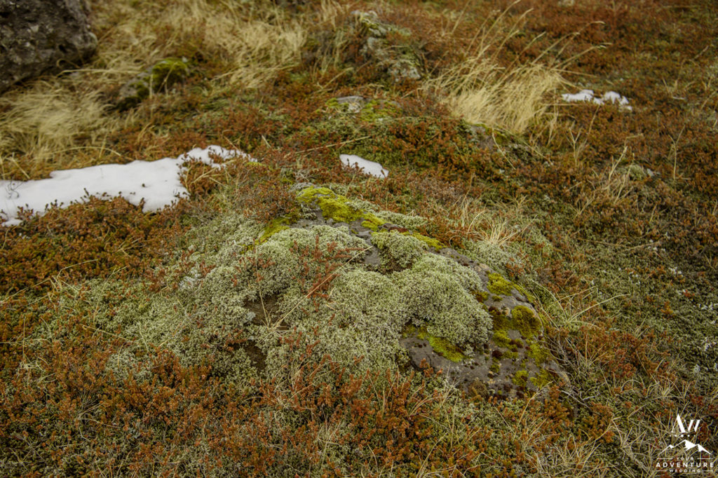 Closeup of Moss in Iceland
