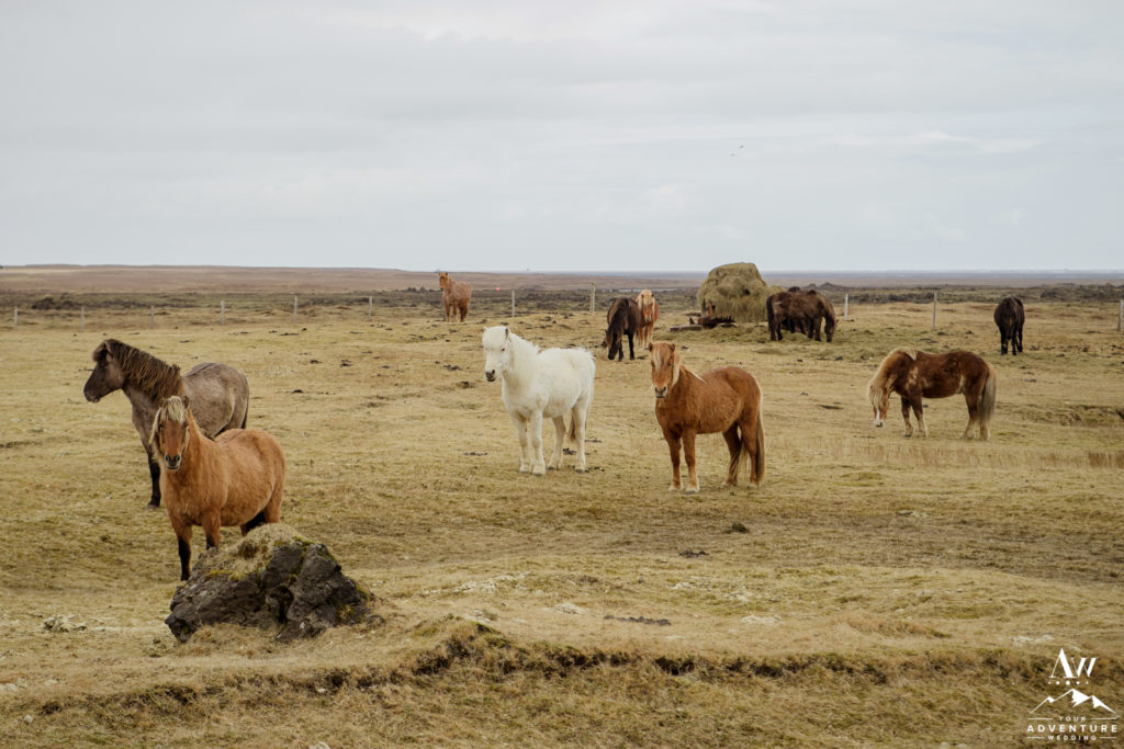 Iceland Horses in a pasture in Aprilf