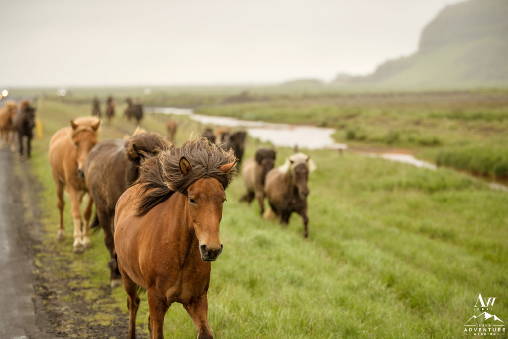 Icelandic horses running on the side of the road