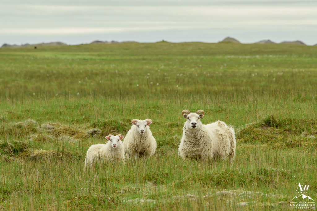 Southern Iceland Sheep seen on wedding day