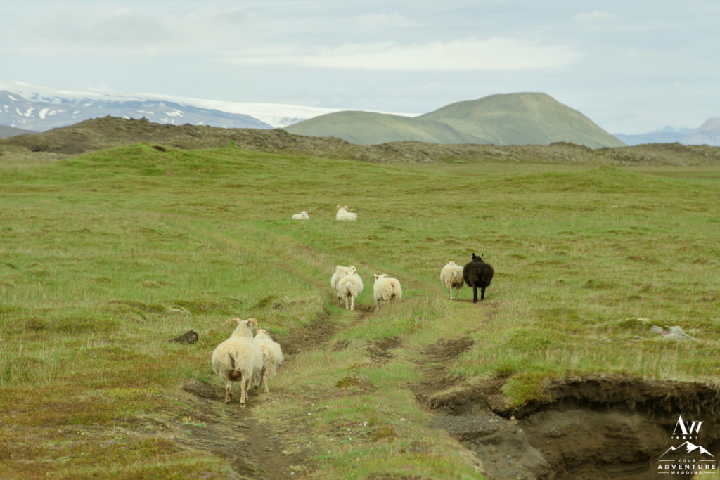 Icelandic Sheep Running Away