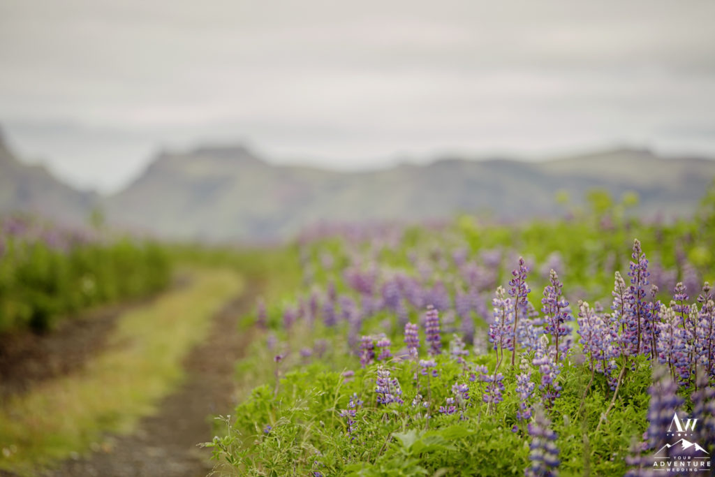 July wedding in Iceland Lupine