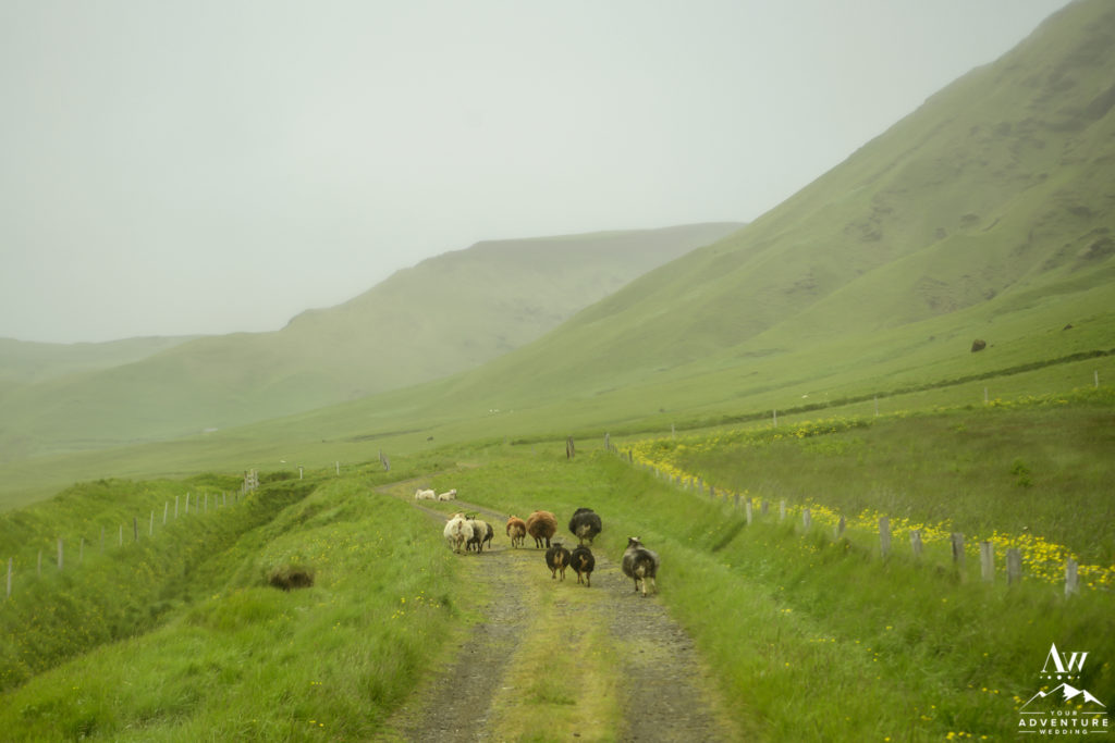 Sheep running down a road in Iceland
