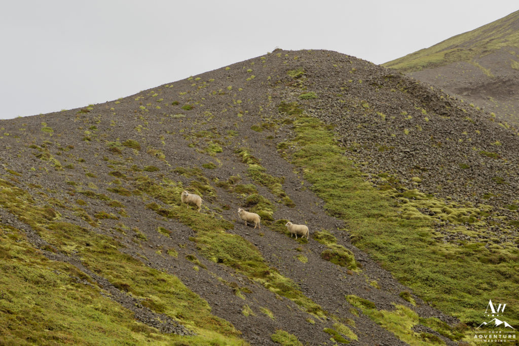 Sheep hiking a mountain in Iceland