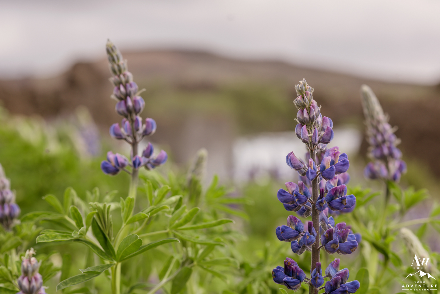 Iceland Wedding Flower Alaskan Lupine