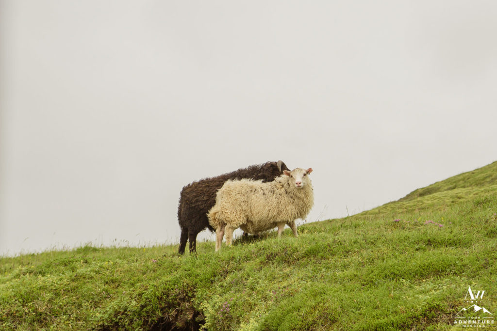 Icelandic sheep in the highlands