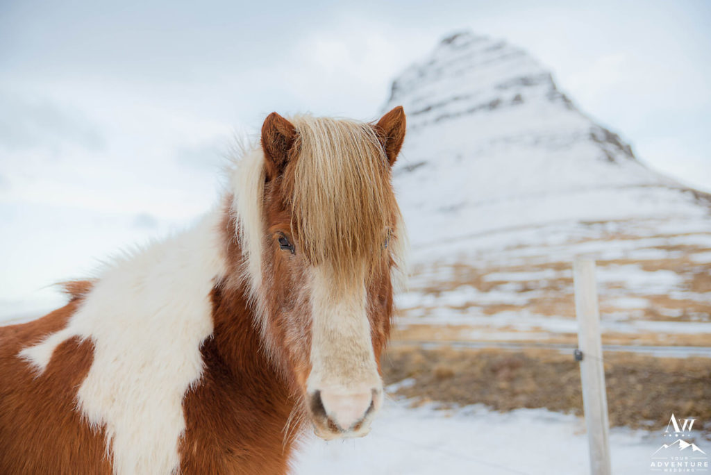 Closeup of the Icelandic Horse