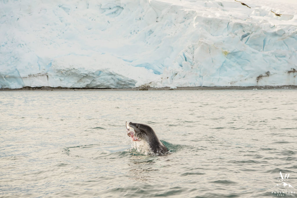 Leopard Seal Eating a Fish
