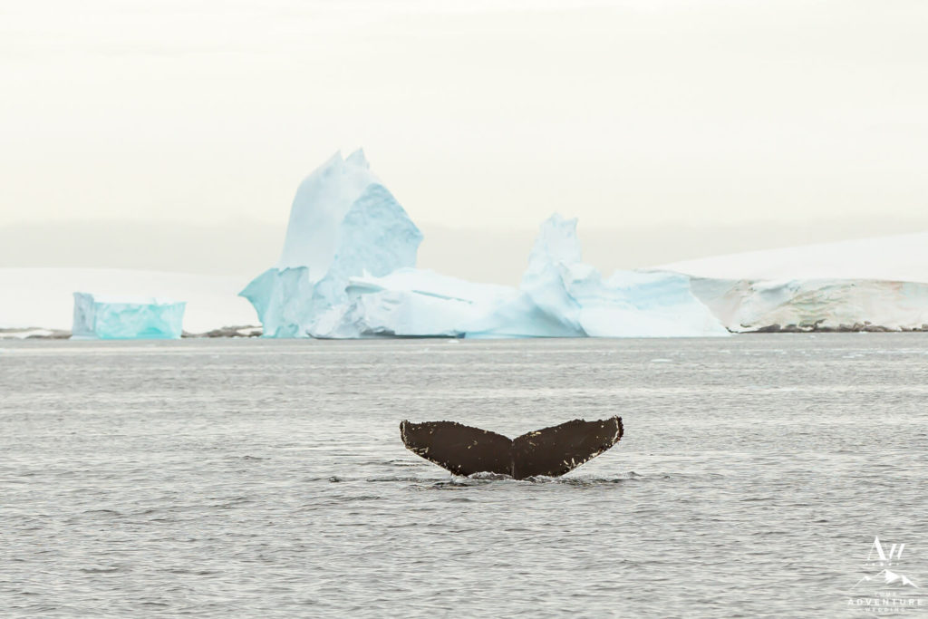 Whale Tail in Antarctica with Icebergs