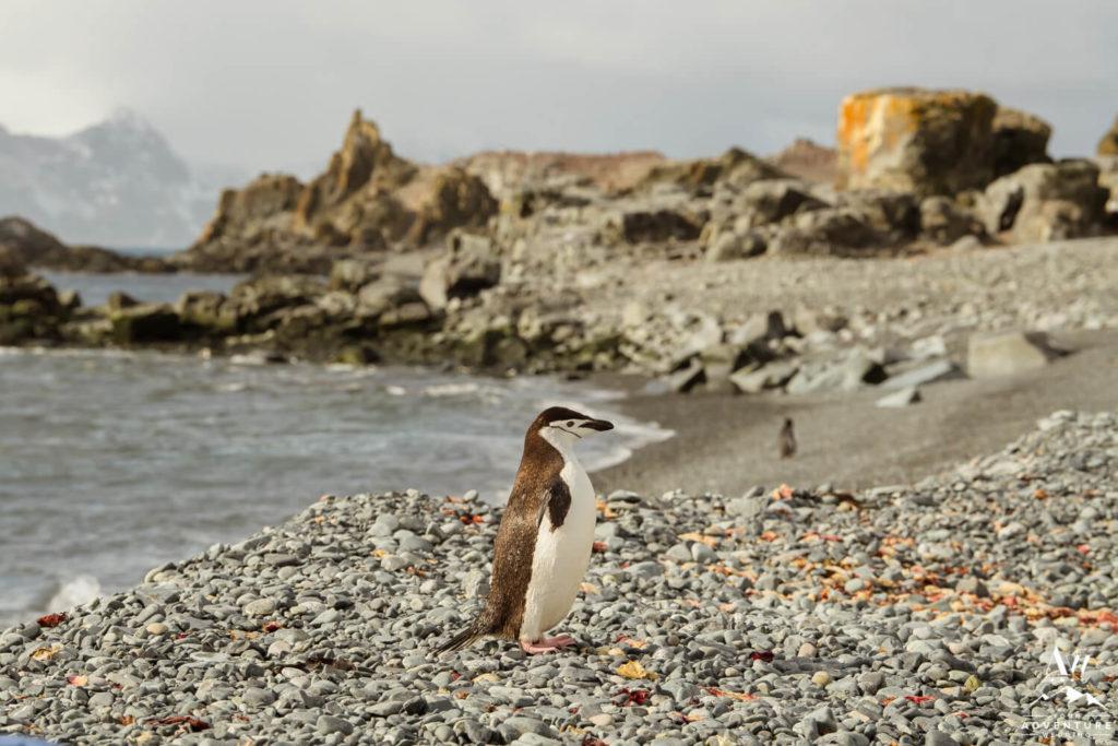 Chinstrap Penguin in Antarctica