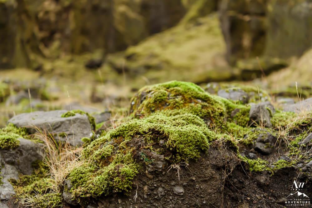 Close up of Icelandic Moss