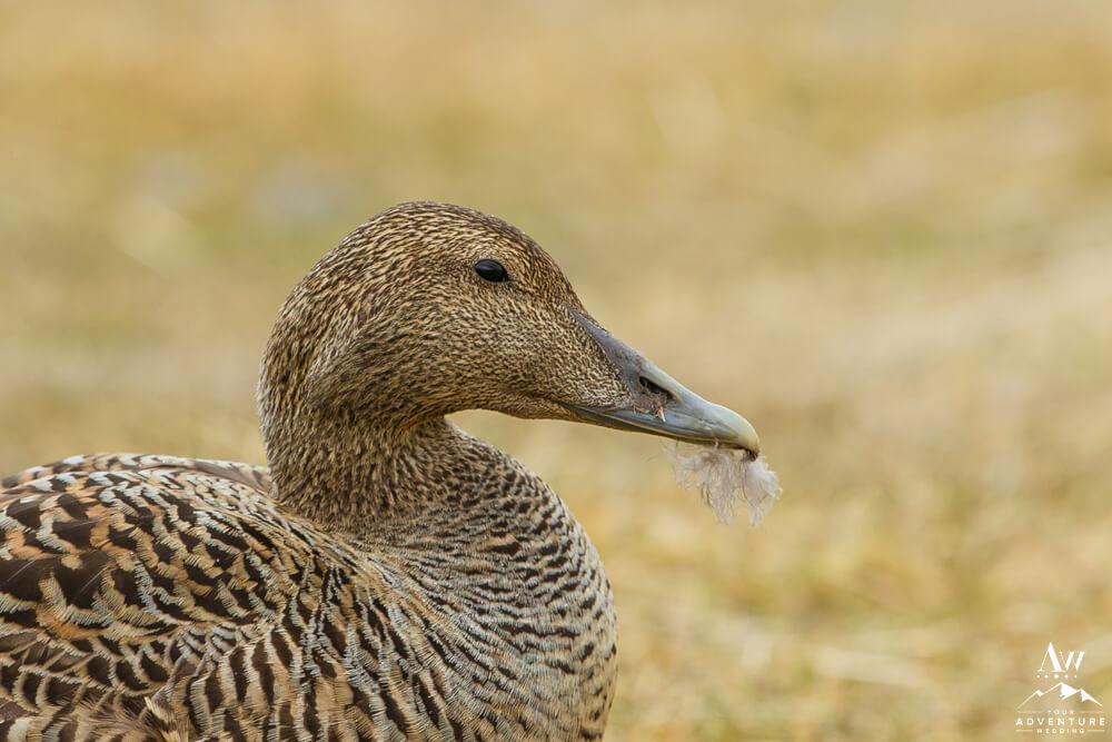 Iceland Eiderdown Duck with feather